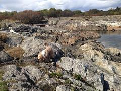 2016 09 19 Cattle Point_0007 (Blake Handley) Tags: blake blamar cattlepoint oakbay victoria bc britishcolumbia vancouverisland canada dogs ocean shoreline beardedcollie beardie