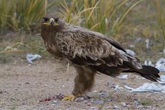 Steppe eagle (Tuvshintogs) Tags: steppe eagle birdsofmongolia