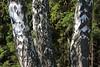 ckuchem-9762 (christine_kuchem) Tags: baum birken borke bã¤ume drilling laubbaum nadelbã¤ume natur rinde sommer tannenwald wald zwilling drei sonnig zwei