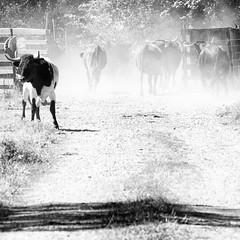 Osborne II (Rainer ) Tags: toro stier bull alfarorioja espaa spanien spain espagne rioja monochrom sw bw bn sommer2016 rainer