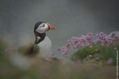 DSC_4338-2 (nigelsnell) Tags: birds puffinfraterculaarctica salteeisland bird ononesoftware photo10 textures