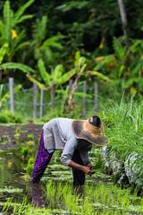 Worker in the rice paddies near Tirta Gangga (Tim&Elisa) Tags: bali tirtagangga indonesia asia ricepaddies ricefields riceterraces landscape canon green water rice
