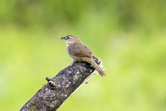 breakfast cricket - Grilo para caf da manh (sostenesmonteiro) Tags: bird birds nikon nature natureza sostenesmonteiro totecmt d5200 tote criket