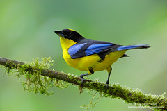Blue-winged Mountain-Tanager (www.juancarlosvindasphoto.com) Tags: costarica juancarlosvindas nature wildlife landscape frog amphibian birds birdphotography photographer photos pictures stock fulllength nobody frontalview sideview outdoors mammals endemic reptiles portraitmode portrait large small aves colibries colibris hummingbird canon multiflash gear tropical rainforest cloudforest tropicaldryforest protected workshop tour expedition unique cute waterfall green forest poisonous rightsmanaged rm getty treefrog leaffrog landscapes ecuador distinctive endangered animalsinthewild birdwatching biology biodiversity multicolored animal toucan wildanimals tropicalbirds neotropicwildlife neotropicbirds bluewingedmountaintanager