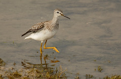 Lesser Yellowlegs (Severnrover) Tags: wading bird wader migrant vagrant migration autumn uk