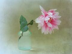 pink dahlia (Ani Carrington) Tags: stilllife dahlia soft pink petals pinkpetals delicate flower