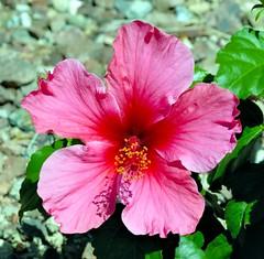 _DSC0018e ~ Hibiscus (BDC Photography) Tags: buckeye arizona usa nikon nikond200 nikondslrcamera bwfpro72mmuvhaze1xfilter nikonafnikkor180mmf28difedlens pink hibiscus