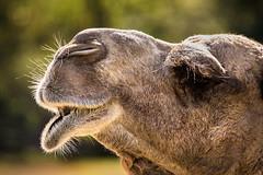 Camel Close-Up 3-0 F LR 10-22-16 J725 (sunspotimages) Tags: animals animal camel nature wildlife zoo zoosofnorthamerica zoos
