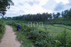 H504_3566 (bandashing) Tags: teagardens green lush field path tree bush tea sylhet manchester england bangladesh bandashing aoa akhtarowaisahmed socialdocumentary