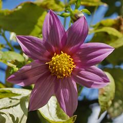 Dahlia Come Lately (charlottes flowers) Tags: dahlia mygarden dahliatenuicaulis