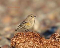 Female yellow rumped warbler (Victoria Morrow) Tags: