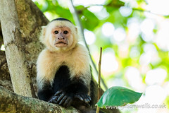 Portrait of a white faced capuchin (wellsie82) Tags: 6d americas cebuscapucinus costarica costaricaanimals guanacaste hotelriuguanacaste jasonwells latinamerica nicoyapeninsula pacificslope primate republicofcostarica riu riuguanacaste tropicalforest whitefacedmonkey animal animalportrait bokeh branch canon capuchin centralamerica clean cleaning dryforest eating eos fauna feeding flora food forest green hand holiday hotel inthewild jasonwellscouk landscapeformat leaves lick licking mammal monkey naturalhabitat naturalworld nature nopeople oneanimal outdoors resort rural sitting sittingdown travel tree treearea trees tropicaldryforest vacation wellsie82 westernhemisphere whitefacedcapuchin whitethroatedcapuchin wild wildlife wwwjasonwellscouk