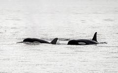 217-EM551461 (Teemu Paukamainen) Tags: sanjuansafaris orca killerwhale miekkavalas orcinusorca sanjuanislands olympusem5 olympus40150mmf28