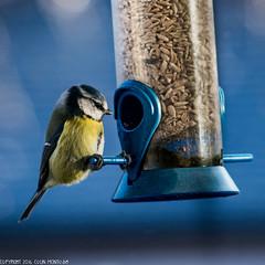 DSC_0573: Blue-tit (Colin McIntosh) Tags: britishbirds200mmf4 nikon d610 200mm f4 ais manual focus bluetit
