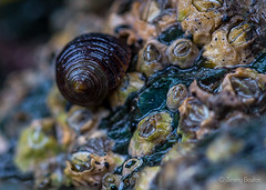 5mm Monster (JKmedia) Tags: northwales anglesey beech sheets shore rock shells tiny macro ef100mmf28lmacroisusm small 2016 boultonphotography canoneos5dmkiii attached barnacle closeup micro world nature