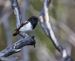 Hooded Robin Melanodryas cucullata Petroicidae (Mykel46) Tags: hooded robin melanodryas cucullata petroicidae birds nature canon 5dmk4 500mmf4 mountobservation southaustralia australia au 2xtele