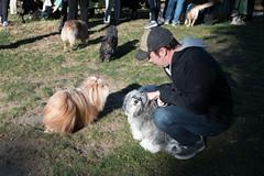 Casper, Havanese (Charley Lhasa) Tags: fujifilmx70 fujifilm x70 185mm iso200 secatf28 0ev aperturepriority pattern noflash dsf2907 raw cropped taken161112084040 uploaded161116001508 3stars flagged adobelightroomcc20157 lightroomcc20157 adobelightroom lightroom charley charleylhasa lhasaapso dog casper havanese dogs dogsmet offleash offleashhours bagelbark centralparkpaws harlemmeer centralpark nycparks manhattan newyorkcity nyc newyork ny fall autumn tumblr161115 httpstmblrcozpjiby2ekhoml