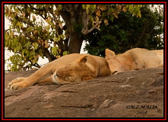 A FEMALE LIONESS AND SEMI-ADULT MALE (Panthera leo) DOZING OFF ON ROCKS......MASAI MARA......SEPT 2016 (M Z Malik) Tags: nikon d800e 400mmf28gedvr kenya africa safari wildlife masaimara keekoroklodge exoticafricanwildlife exoticafricancats flickrbigcats leo ngc npc