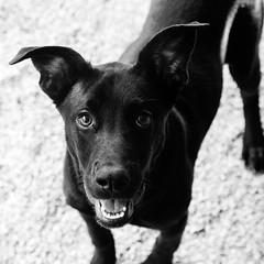 Fantasia19Nov1600048-Edit.jpg (fredstrobel) Tags: dogs pawsatanta phototype atlanta blackandwhite usa animals ga pets places pawsdogs