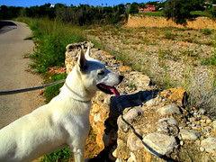 views of spanish campo (iravande) Tags: apasa javea spain espanja dogs dogpound rescuedogs nokillshelter perros perrera pets alsatian white german shephard
