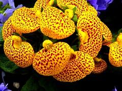 4638ex  P900  Calceolaria