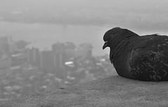 Bird Brain (mj.pix671) Tags: empirestate rooftop pigeon birdbrain perch bnw ny