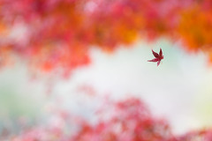 endless flight (hitohira_) Tags: flower flowers nature bokeh leaves maple
