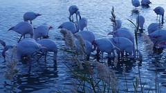 Flamands Roses. (sebastiengobbie) Tags: flammands roses pink flamingos camargue france parc ornithologique pont de gau bird wild