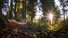 Last Rays (Bastian.K) Tags: schwarzwald carl zeiss loxia loxia2128 21mm 28 sony alpha7 alpha a7rii a7rm2 a7r2 black forest germany blackforest starburst sunstar sunset sunrise sonnenuntergang sonnenaufgang blende blendenstern gerade lamellen 10 zehn pilz pflanze pflangen pilze mushroom gegenlicht contralight contralit