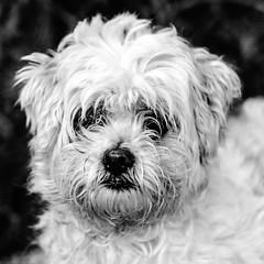 Aiden19Nov1600048-Edit.jpg (fredstrobel) Tags: dogs pawsatanta phototype atlanta blackandwhite usa animals ga pets places pawsdogs decatur georgia unitedstates us
