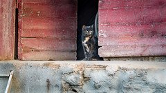Queen of the castle (paulstewart991) Tags: canon70d canadian owensound greycounty cat docks barnboard barn morning