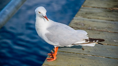 Who me? Silver gull at Fishermens Wharf (Merrillie) Tags: bokeh woywoy gull nature water birds outdoor nswcentralcoast newsouthwales animal nsw channel photography wildlife feeding bird seagull silvergull bay outdoors animals fauna centralcoast centralcoastnsw australia