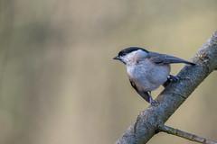 Marsh Tit - Posturing (Gareth Keevil) Tags: cold detail feathered garethkeevil gloucestershire lbj marshtit nikon500mm nikond810 rspb wild winter