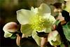 hellebore (atsjebosma) Tags: flower hellebore garden groningen thenetherlands nederland december atsjebosma macro bloem 2016 shadow schaduw helleborus coth5