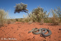 Common Mulga Snake (Pseudechis australis) Warburton, WA (ross.mcgibbon) Tags: mulga snake herpetology photography wildlife canon reptiles venomous elapid kingbrown australia western serpent canon700d herpphotography fauna scales habitat squamata reptile snakes venomoussnakes species tail terrestrial herping nature conservation flora animals animal deserts sand beach sun sunset sky clouds northern southern eastern red green blue yellow travel outback holiday wideangle macro slr lens camera photo image shot