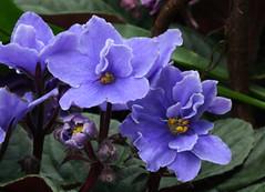 7-IMG_4772 (hemingwayfoto) Tags: berggartenhannover blhen blte blau blume flora floristik natur topfpflanze usambara usambaraveilchencitylinebutterflymix veilchen zierpflanze zuchtform