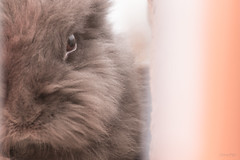 IMG_4079 (CornFee) Tags: 寵物 rabbit pets 兔 動物