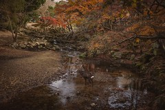 A deer in the water stream (Syahrel Azha Hashim) Tags: nara nature sony 2016 fall holiday nopeople simple trees details a7ii waterstream deer dof season 35mm getaway stream ilce7m2 colorimage vacation destination prime light sonya7 naturallight yellowleafs colorful autumn beautiful river syahrel travel handheld colors tree shallow animal japan detail