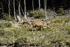 Huemula con su cría / South Andean deer with calf (daniel.cross) Tags: huemul mamiferos