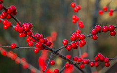 Red Berries And Bokeh (Catskills Photography) Tags: hbw red berries nature canon2880mmusmlens