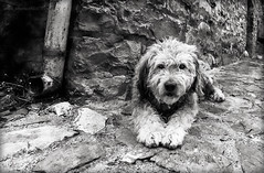 _MG_7984 (Alfonso Chico) Tags: perros pirineos dogs mascotas pets blancoynegro blackandwhite monochromia panorama panoramic