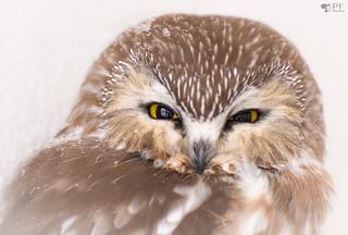 ''Dream!'' Petite nyctale/ Saw-whet owl- aegolius acadicus