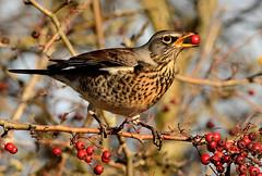 Fieldfare (Severnrover) Tags: fieldfare winter migrant uk oldbury severn berry thrush