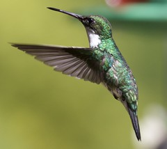 White Throated Hummingbird (andy w taylor) Tags: hummingbird whitethroated atlantic forest brazil neotropics birds