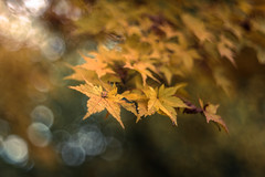 Maple Leaves (hploeckl) Tags: projectorlens bubblebokeh nikon d750 nature fall leaves leaf maple happy