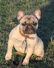 IMG_6760 (ianwhite11) Tags: misc dog animal pug