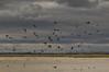Lake Bowdoin Birds, Bowdoin National Wildlife Refuge, Montana (Tony Webster) Tags: bowdoin bowdoinnationalwildliferefuge malta montana birds flying inflight
