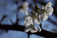(Eric da Silva) Tags: spring tree flower