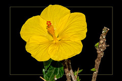 Yellow hibiscus flower almost without leaves and flowers, (scorpion (13)) Tags: yellow hibiscus flower plant winter photoart color creative almost no leaves frame