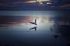 Landing (Akromac) Tags: provincetown capecod usa sunset dawn blue clouds bird canon 5dmark3 ef2470mmf4lis water coast